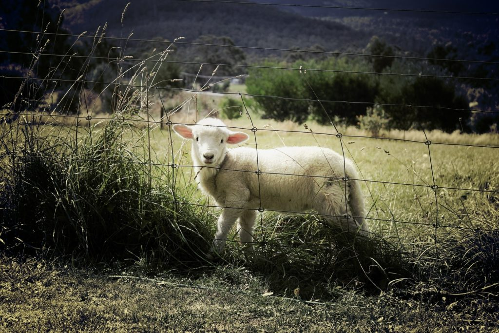 Hiába az áremelkedés, a juhosoknak rosszul is alakulhat a húsvét (Fotó: Pixabay, BenjaminNelan)