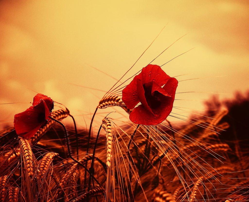Még drágulnak a gabonák, de ki tudja meddig? (Fotó: Pixabay, Candiix)