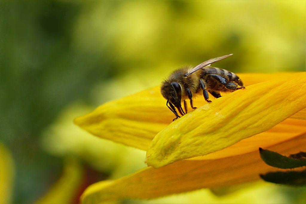 A magányosan élő méhfajok segítségre szorulnak (Fotó: Pixabay, Oldiefan)
