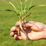 Az erős talajfagyok a hajszálgyökerek pusztulásához vezettek