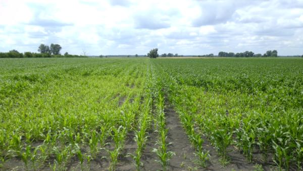 Viva hatása kukoricában - bal oldal: kezeletlen kontroll, jobb oldal: Viva-val kezelt