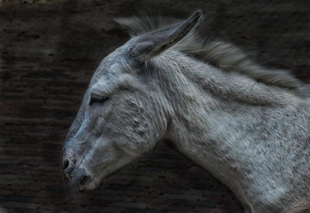 A szamárzselé miatt vágják le az állatokat (Fotó: Pixabay, Michi-Nordlicht)