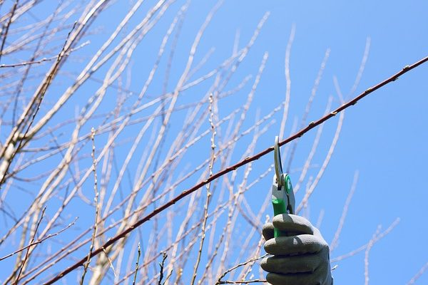 A márciusi tél miatt csúszik a tavaszi metszés ideje is