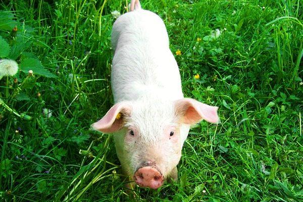 A tenyészkoca állatjóléti támogatási kérelem legkésőbb március 31-ig adható be