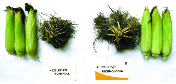 A Huminisz technológiával kezelt területről származó növények gyökértömege 25%-kal volt nagyobb, mint a kontroll területé (Újszilvás, 2017)