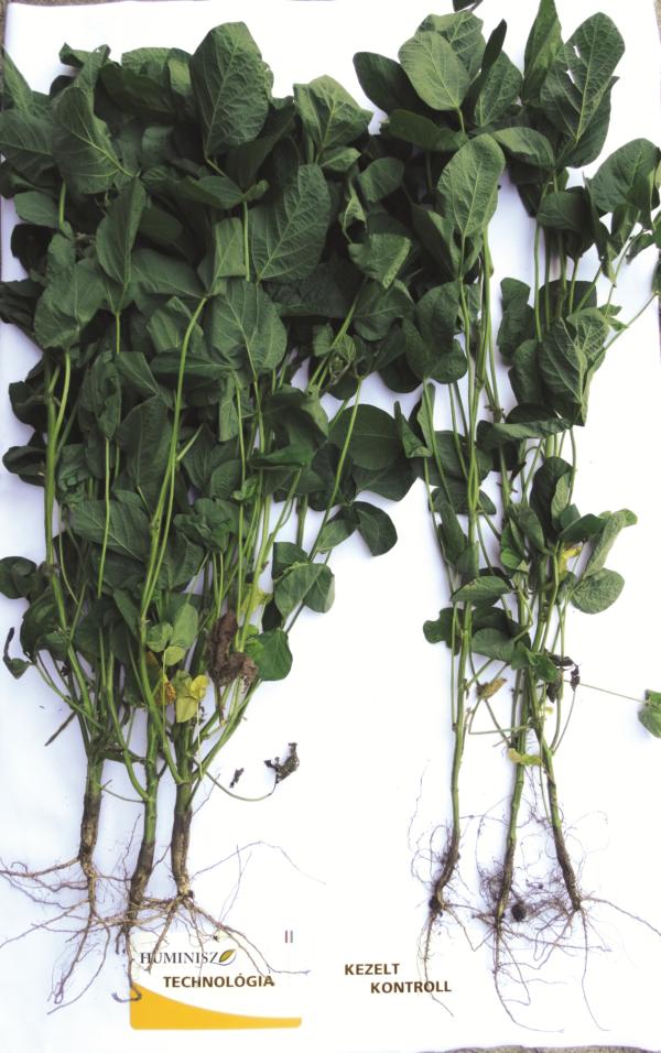 A Huminisz technológia hatására a kezelt szója tápanyaghasznosítása javul, ami többek között a zöldtömeg képen is jól látható növekedését okozza (Sárszentlőrinc, 2017)