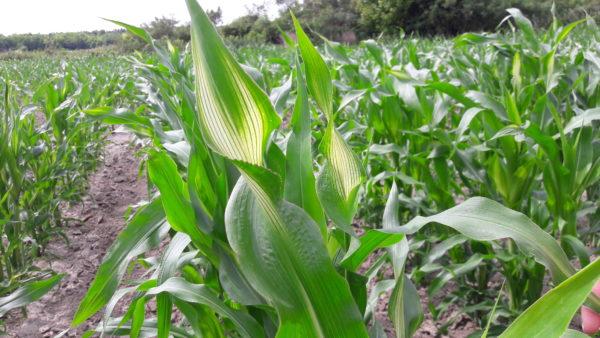 Gyomirtó szer okozta stresszhatás kukoricán