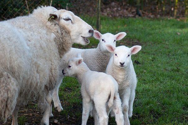 A jóbárányár nem elég ahhoz, hogy helyrehozza a juh- és kecskeágazat hibáit