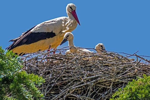 A kreatív madárvédelem a fészkelő gólyákat is megóvná az áramütéstől