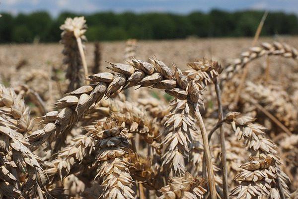 Egy jó kondícióban lévő növény lényegesen ellenállóbb a különféle gombabetegségekkel szemben - erre is jó a növénykondícionáló szer