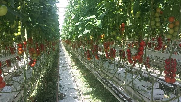 Télen is hazai paradicsomot szüretelnek a Pest megyei üvegházakban