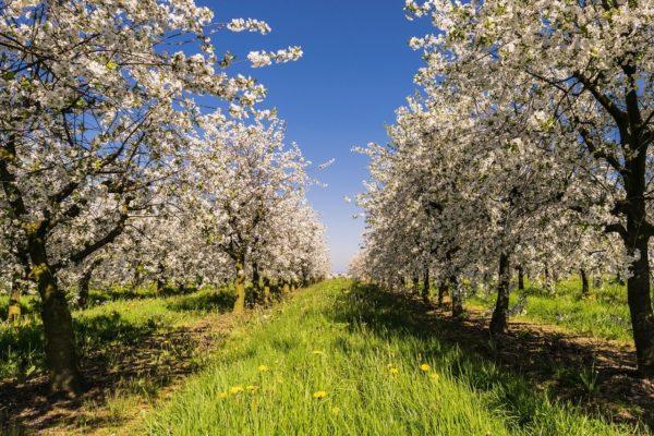 A tetvek és molyok jelentik most a legnagyobb veszélyt az almaültetvényeken (Fotó: Pixabay, Tama66)