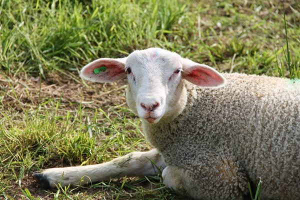 Kiterjesztik a támogatást a juh- és kecsketejre is (Fotó: Pixabay, manfredrichter)