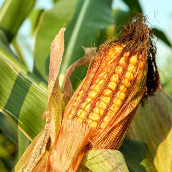 A 2018/2019. gazdasági évi termelés 1056 millió tonnára becsült termés jócskán elmaradna az 1092 millió tonnára várt felhasználástól (Fotó: Pixabay, Couleur)