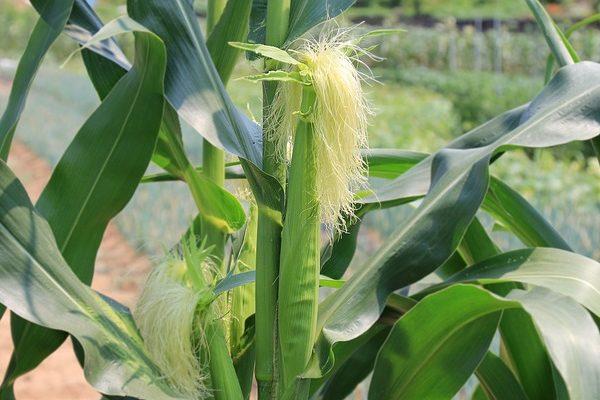 Nőtt az unió agrárteljesítménye, a kukoricatermesztéshez pedig jelentősen hozzájárul Magyarország