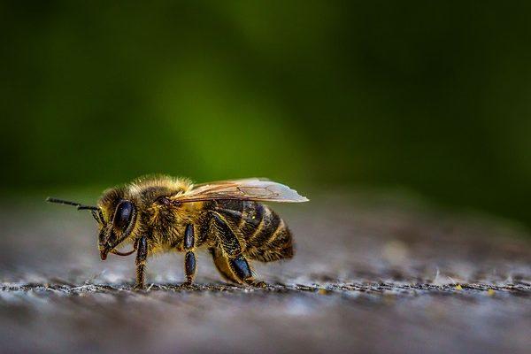 Amájusi méhlegelők jellemzője, hogy országszerte hamarabb és gyorsabban indult be a virágzás