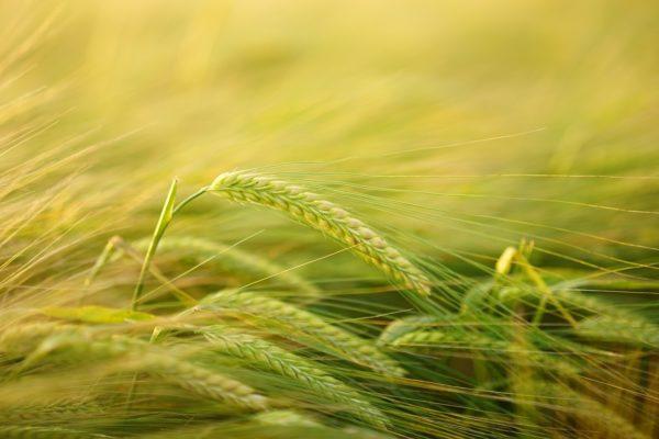 A magyar mezőgazdaságot a támogatások tartják életben - hangzott el a debreceni búzatanácskozáson (Fotó: Pixabay, Hans)