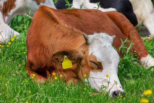 Kihívás a GMO-mentessé válásban a fehérjetakarmány előállítása (Fotó: Pixabay, Couleur)