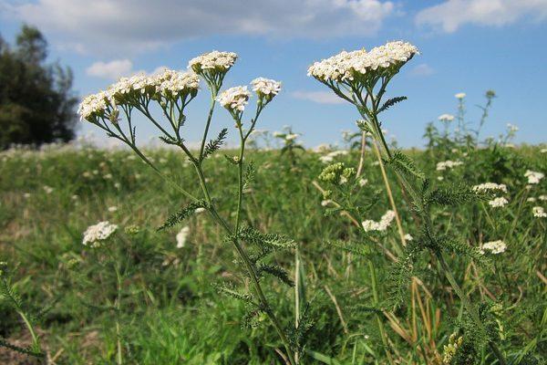 Az évelő növénykultúra váltás engedélyezett azagrár-környezetgazdálkodási támogatási rendszerben - a képen a közönséges cickafark (Achillea millefolium)
