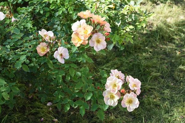 A szőregi rózsatő hungarikum lehet - ezt kezdeményezték az első Szőregi Rózsaszemzés Napján - Fotó: Krasznai-Nehrebeczky Mária/Agrárminisztérium