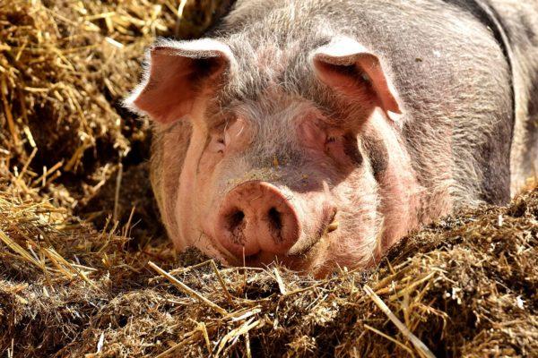 Több tízezer állatot kellett megsemmisíteni (Fotó: Pixabay, Alexas_Fotos)