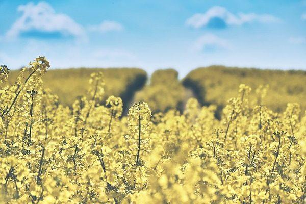 Érdemes fehérpenészevő talajgombát használni a repcében és a napraforgóban, de nem mindegy, hogy milyet
