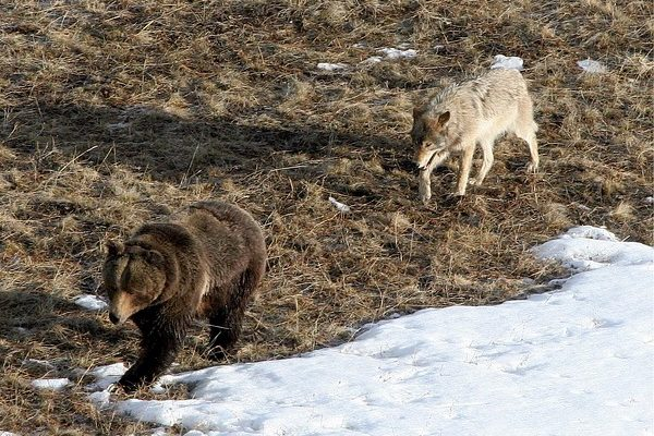 A nagyragadozók leginkább a vadállományt ritkítják, de a medve és a farkas veszélyes a haszonállatokra is