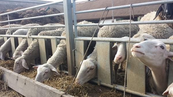 Az új állattenyésztési törvény 2018. november elsején lép érvénybe - képünkön a Dunapatajon, a Golf-Szelid tanyán nevelt lacaune juhok