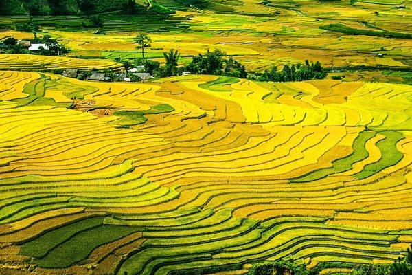 A rizstermesztés azért kulcsfontosságú, mert az élelmiszerellátás alapja Észak-Koreában - a képen a rizs teraszos termelése