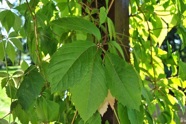 A hazai erdőgazdálkodás több új, invazív fajjal találkozik az erdőkben, ilyen a vadszőlő is (képünkön)