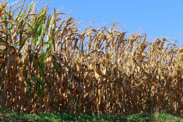 A kedvezőtlen időjárás miatt néhol szünetel a kukorica betakarítása (Fotó: Pixabay, Uschi_Du)