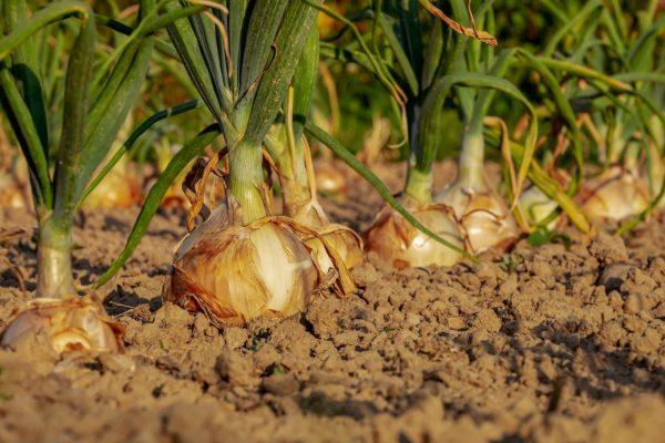 Európa-szerte a hagymatermés 15-50 százalékkal lett kevesebb, mint egy átlagos évben (Fotó: Pixabay, Couleur)