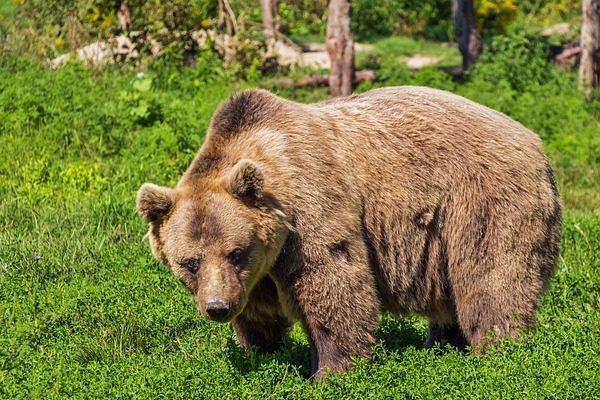 A barna medvétől is megvédhetik a Kuvasz-Őr Nagyragadozóvédelmi Program kutyái az állattartó gazdák jószágait
