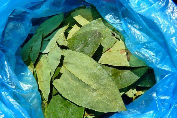 A kokain előállításához szükséges kokacserjéket irtanák ki glifozáttal a kolumbiai hatóságok - képünkön a kokalevelek
