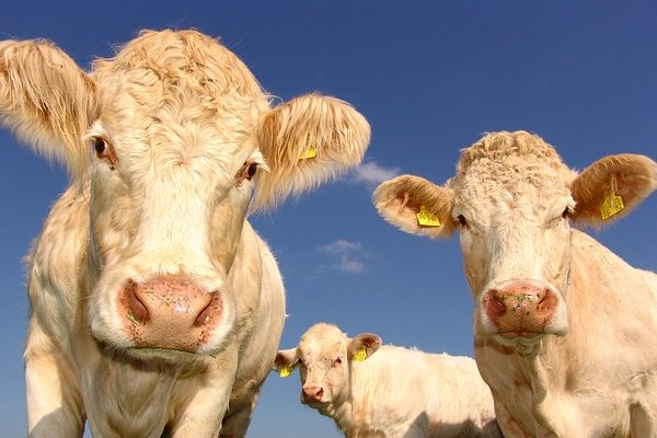 Blonde d'Aquitaine tenyésztő francia vendégelőadóval rendezik meg az idei országos húsmarhatenyésztési tanácskozást Keszthelyen - képünk illusztráció