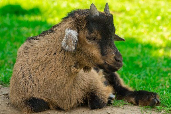 A kecsketenyésztés akkor lehet jó, ha odafigyel a genetikára