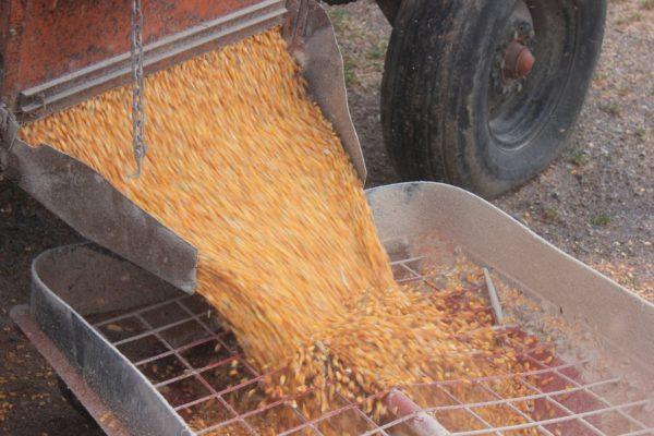 Idén növekedhet a magyar kukorica iránti kereslet (Fotó: Pixabay, nikles5)