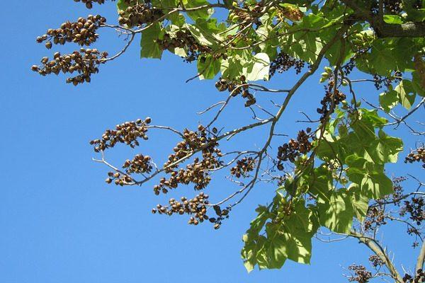 A császárfák tulajdonságai nagyon eltérőek, és magyarországi hasznosításuk szempontjából ég és föld akülönbség köztük - képünkön a Paulownia tomentosa alfaj