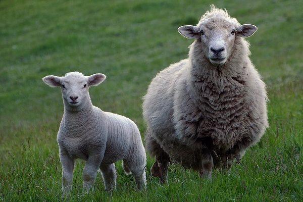 Örülhetnek ajuh- és kecsketartók, néhány hét múlva újabb támogatásra adhatnak be igényt a nőivarú, tejhasznosítású juhok és kecskék után