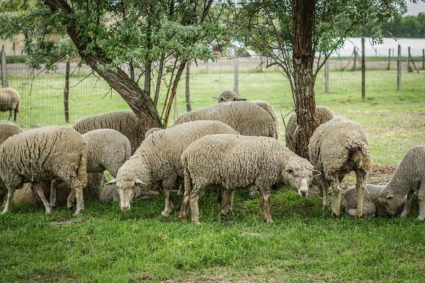 A génmegőrzés a magyar juhászat számára kiemelten fontos - Fotó: Adam's Photovision