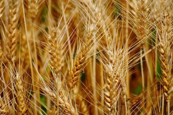 A magas búzaárak miatt megjött a gazdálkodók kedve a búzavetéshez (Fotó: Pixabay, SCAPIN)