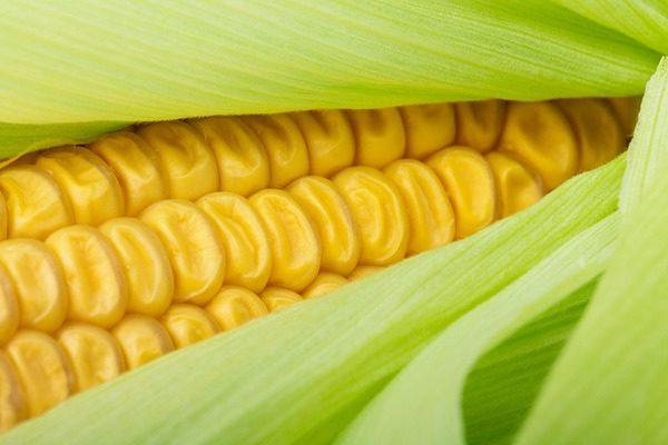 AHungrana vezetője kiemelkedően jó kukoricaeredményekre számít