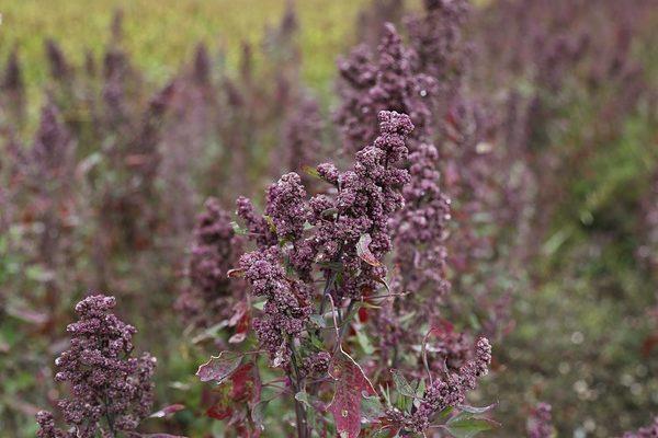 A különleges gabonafélék termesztése új lehetőséget nyithat a kisebb piaci szereplők számára - képünkön a quinoa