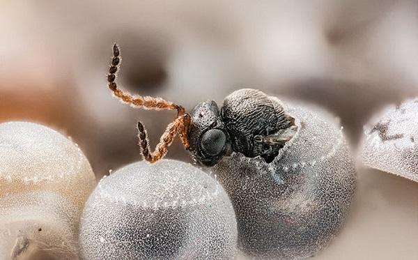 A szamurájdarázs épp kibújik egy poloska petéjéből - Fotó:CHRIS HEDSTROM - Sciencemag.org