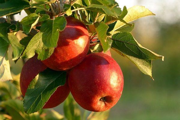 Az almatermesztés sarkalatos pontja a növényvédelem (Fotó: Pixabay, Oldiefan)