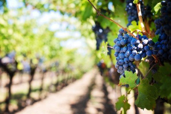 Újra igényelhető a szőlő szerkezetátalakítási támogatás (Fotó: Pixabay, jill111)