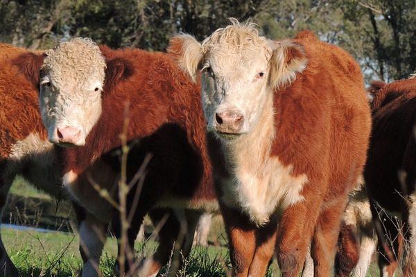 Új elnököt választott a magyar állattenyésztés, és készül az újállattenyésztési törvény is - képünkön Hereford szarvasmarhák