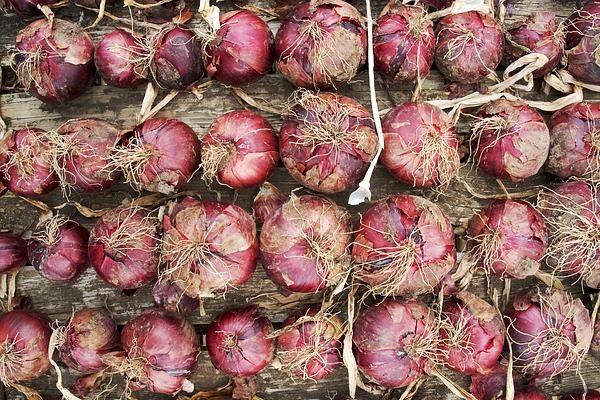 A helyes téli zöldségtárolás megalapozásához a betakarítás előtt egy hónappal már nem szabad nitrogént kijuttatni az adott növény termőterületére