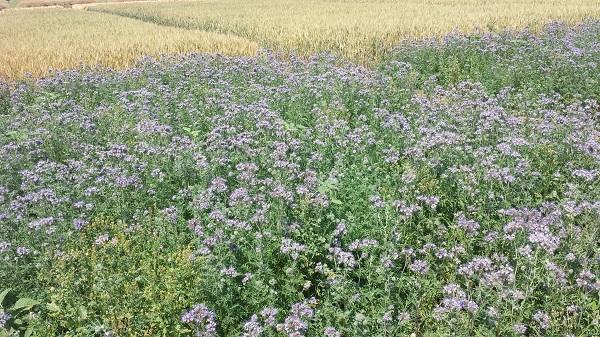 A talajmegújító gazdálkodás takarónövényekkel és okszerű tápanyagkijuttatással csökkenti a költségeket