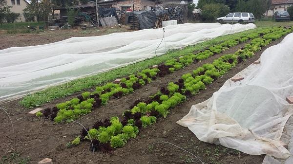 Salátabotrány borzolja a kedélyeket az Egyesült Államokban